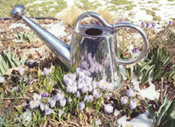 Photo by Terry Hale: Crocus reflected in watering can (link to home page)